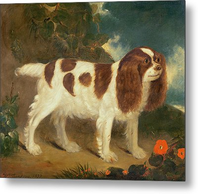 King Charles Spaniel Metal Print by William Thompson