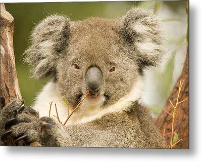 Koala Snack Metal Print by Mike  Dawson