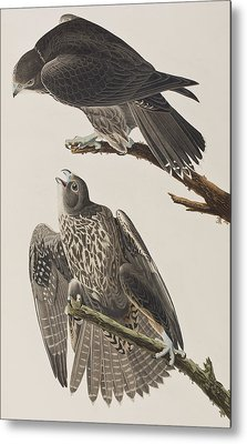 Labrador Falcon Metal Print by John James Audubon