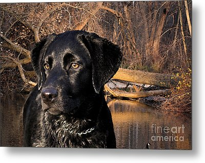 Labrador Retriever Metal Print by Cathy  Beharriell