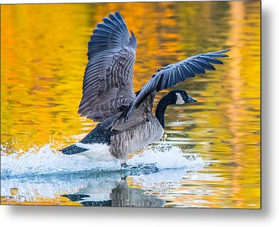 Landing In Fall Colors Metal Print by Parker Cunningham