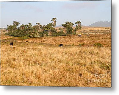 Landscape With Cows Grazing In The Field . 7d9957 Metal Print by Wingsdomain Art and Photography