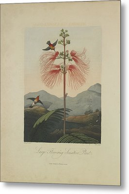 Large Flowering Sensitive Plant Metal Print by Robert John Thornton