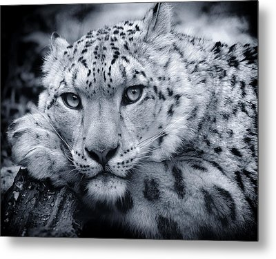 Large Snow Leopard Portrait Metal Print by Chris Boulton