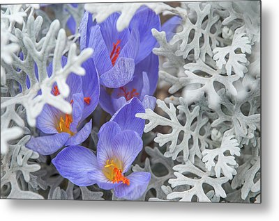 Late Autumn Crocuses With Silverdust Metal Print by Jenny Rainbow