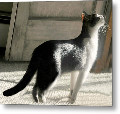 Late Day Cat Metal Print by Diana Angstadt