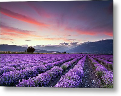 Lavender Season Metal Print by Evgeni Dinev