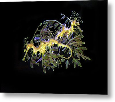 Leafy Sea Dragons Metal Print by Anthony Jones