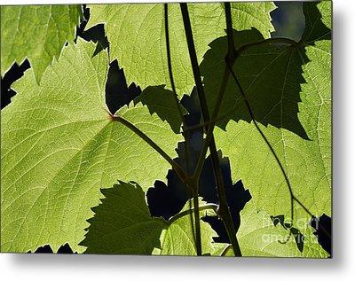 Leaves Of Wine Grape Metal Print by Michal Boubin