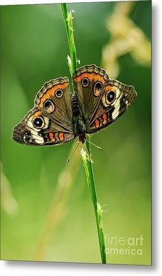 Lepidoptera Metal Print by Charles Dobbs