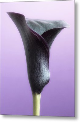 Lilac Purple Calla Flower Metal Print by Artecco Fine Art Photography