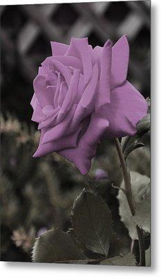 Lilac Rose Metal Print by Vijay Sharon Govender