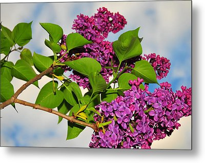 Lilacs Metal Print by Catherine Reusch  Daley