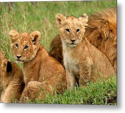 Lion Cubs - Too Cute Metal Print by Nancy D Hall