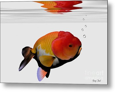 Lion-head Goldfish Metal Print by Corey Ford