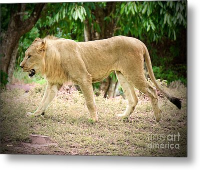 Lion On The Prowl Metal Print by Judy Kay