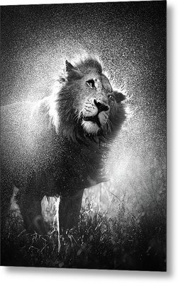 Lion Shaking Off Water Metal Print by Johan Swanepoel