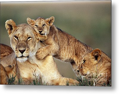 Lion With Cubs Metal Print by Michel & Christine Denis-Huot