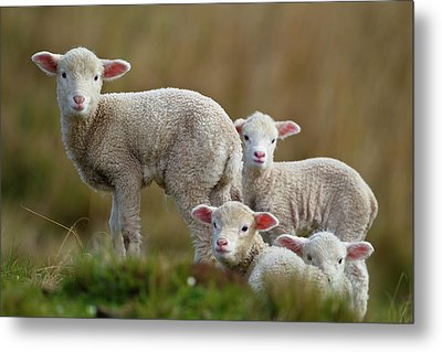 Little Lambs Metal Print by Ronai Rocha
