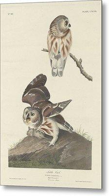 Little Owl Metal Print by John James Audubon