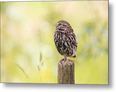 Little Owl Looking Up Metal Print by Roeselien Raimond