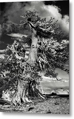 Lone Gnarled Old Bristlecone Pines At Crater Lake - Oregon Metal Print by Christine Till