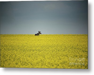 Lone Moose Metal Print by Ian McGregor