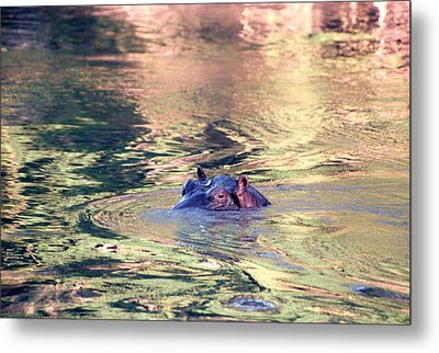 Lonely Hippo Metal Print by Sebastian Musial