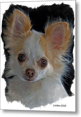 Long Coat Chihuahua Metal Print by Larry Linton