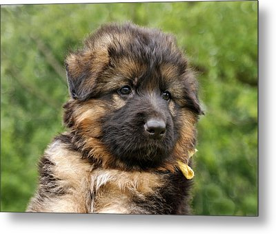 Long Coated Puppy Metal Print by Sandy Keeton