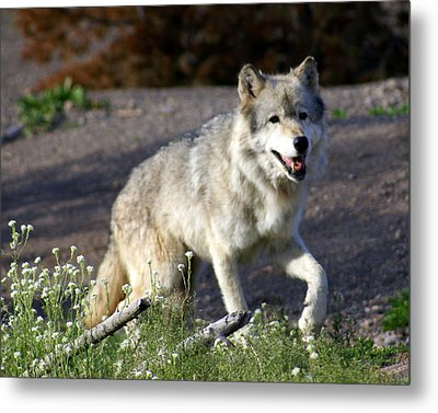 Lonly Wolf Metal Print by Marty Koch