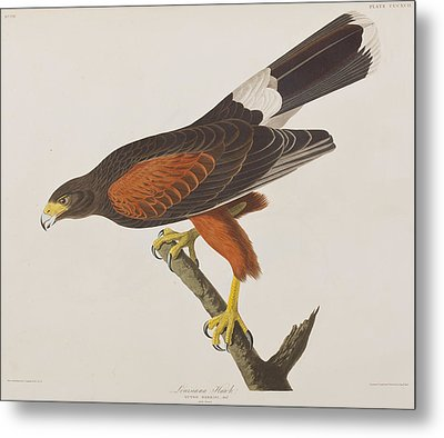 Louisiana Hawk Metal Print by John James Audubon