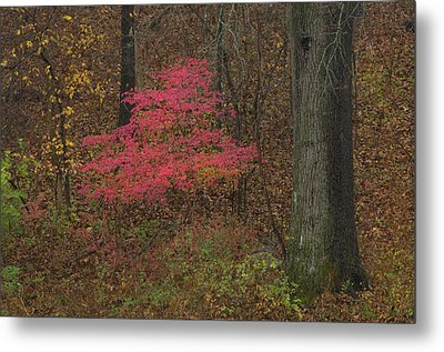 Magenta Tree In Woods Metal Print by Don Wolf