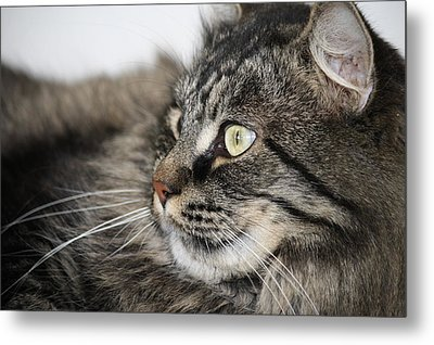 Maine Coon Cat Metal Print by Mary-Lee Sanders