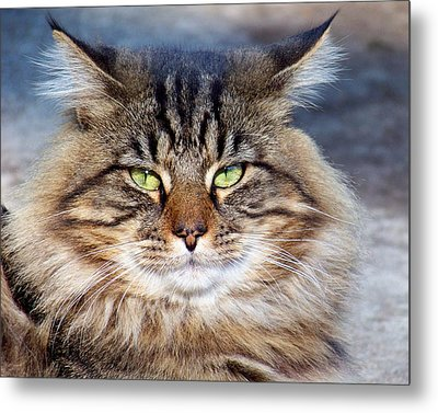 Maine Coon I Metal Print by Jai Johnson