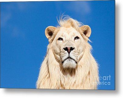 Majestic White Lion Metal Print by Sarah Cheriton-Jones