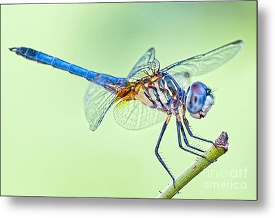 Male Blue Dasher Dragonfly Metal Print by Bonnie Barry