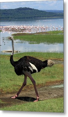 Male Ostrich Metal Print by Aidan Moran