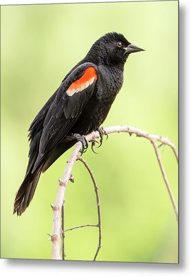 Male Red-winged Blackbird Metal Print by Jim Hughes