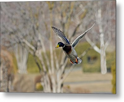 Mallard Approach Metal Print by Mike  Dawson