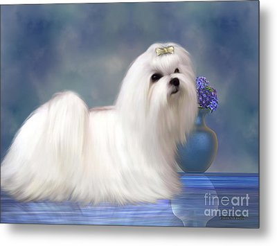 Maltese Dog Metal Print by Corey Ford