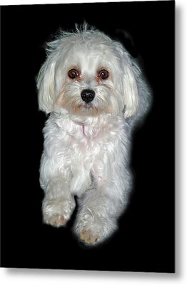 Maltese Terrier Puppy Metal Print by Kenneth William Caleno