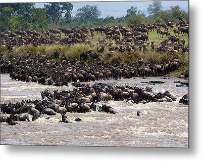 Masai Mara The Great Migration Metal Print by Paco Feria