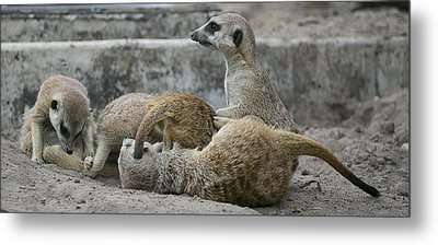 Meerkats  Metal Print by Michel DesRoches