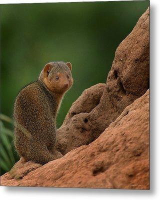 Mini Mongoose Metal Print by Joseph G Holland