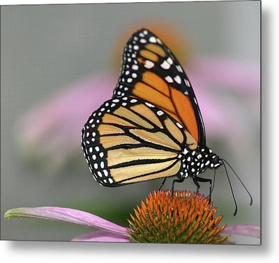 Monarch Butterfly Metal Print by Wind Home Photography