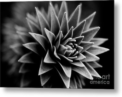 Monkey Puzzle Metal Print by Venetta Archer