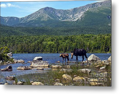 Moose Baxter State Park Maine 2 Metal Print by Glenn Gordon