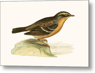 Mountain Accentor, Metal Print by English School