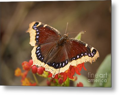 Mourning Cloak Butterfly Metal Print by Ana V  Ramirez